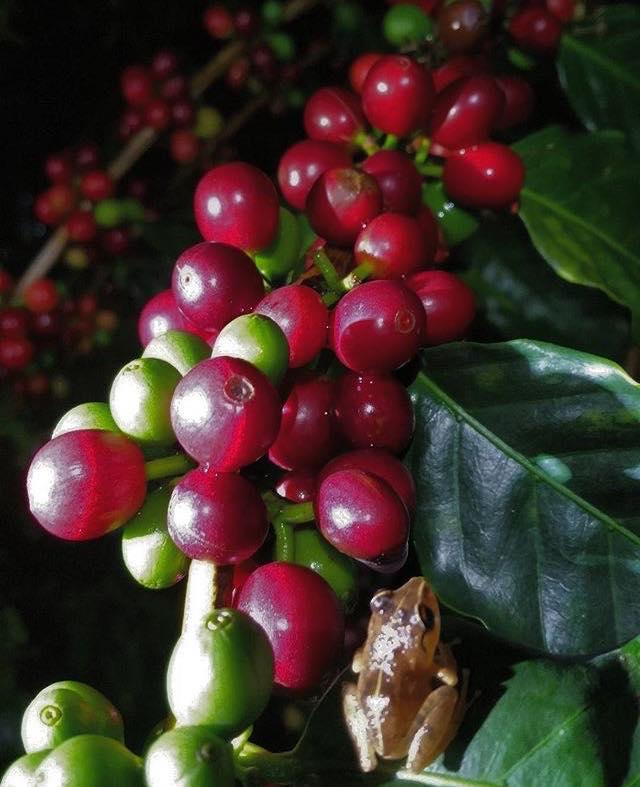 coqui on coffee cherries