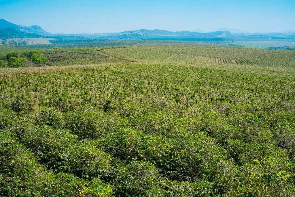 coffee trees on a coffee farm