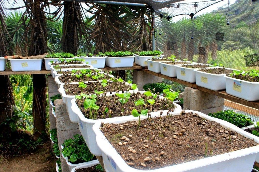 coffee seedlings growing in boxes