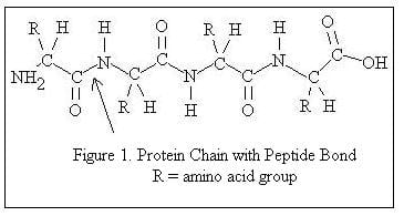 protein chain with peptide bond
