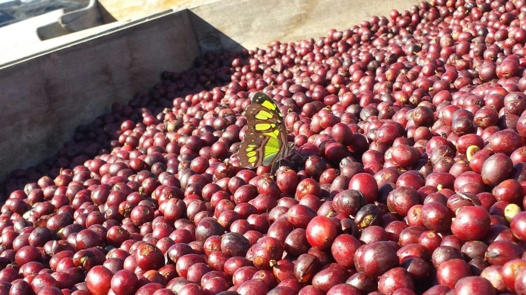 butterfly in coffee cherries
