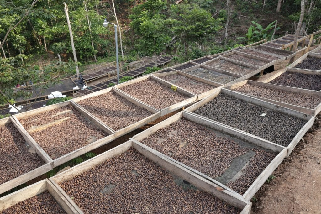 honey process coffee in african beds