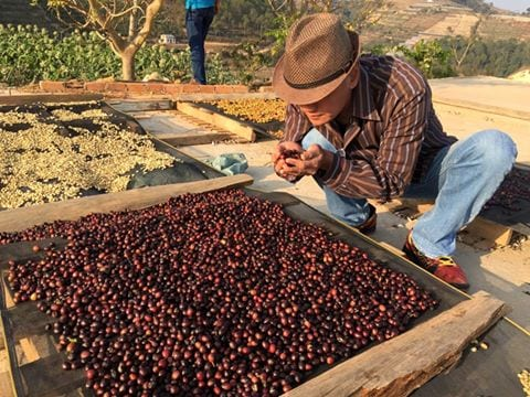 selecting ripe coffee cherries by hand