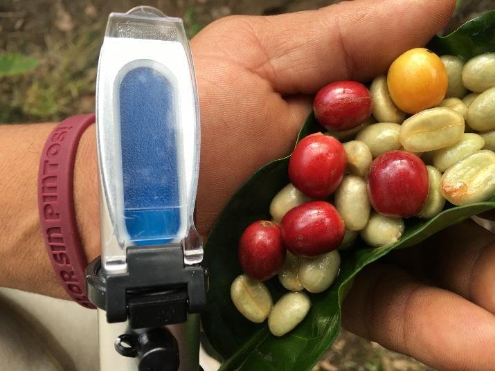 coffee beans in a leaf