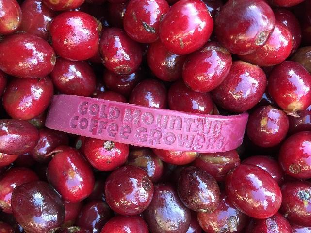 ripe coffee cherries from gold mountain coffee growers