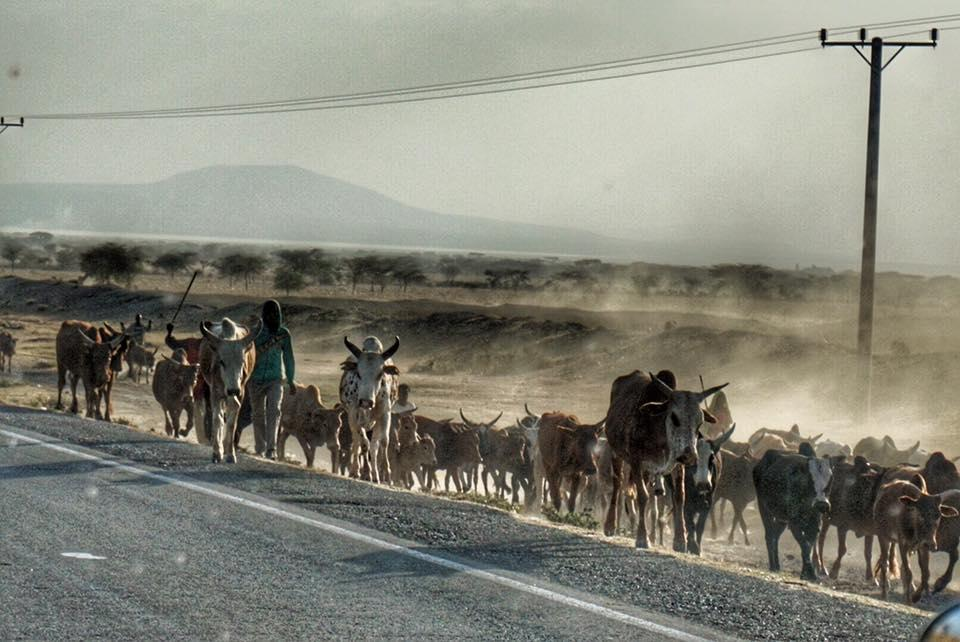 roadside herd