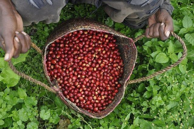 basket of ripe coffee cherries