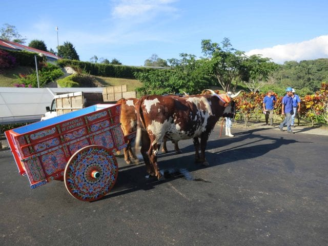 cattle in costa rica