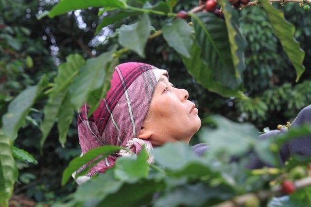 coffee worker thailand