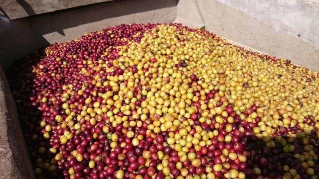 picked coffee cherries