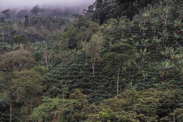 A coffee farm in Volcán Camotán