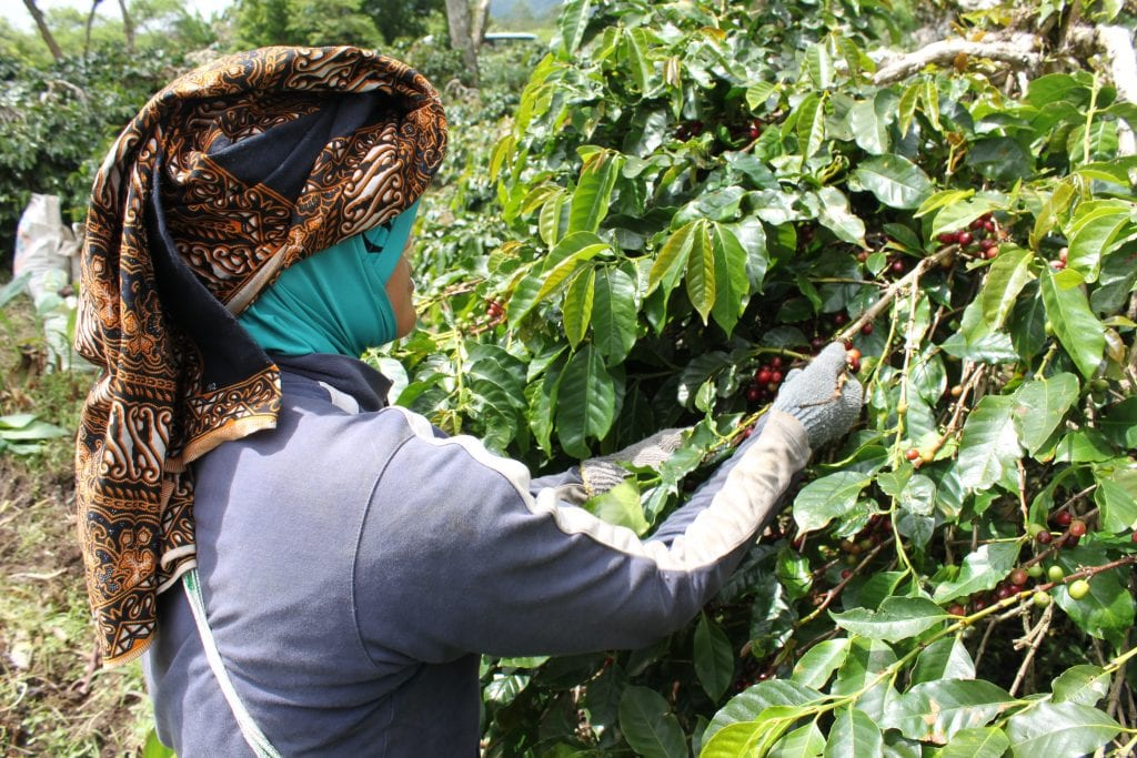 Woman picking cherries in Java