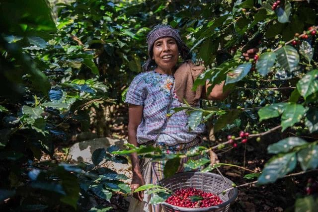 A woman picking coffee in the Traditional Atitlan region.