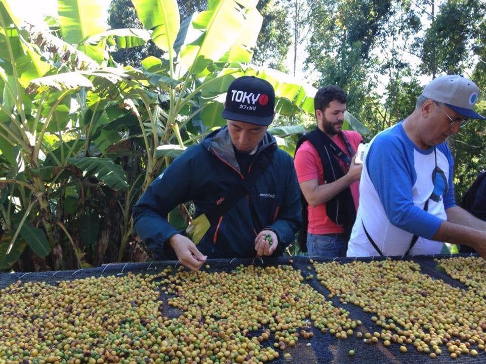 Tetsu picking out green cherries on Sandrinho's farm, Tres Barras.