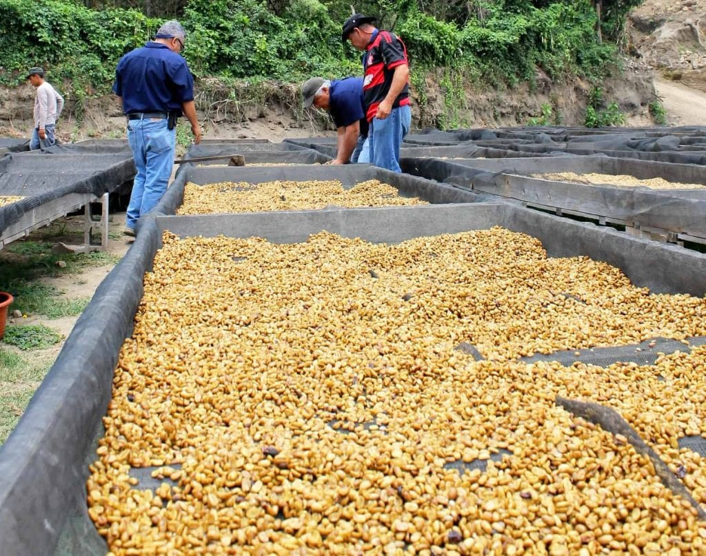 Yellow honey coffee drying on African beds