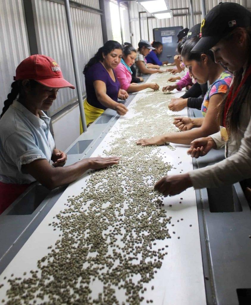 Women sort through coffee beans looking for defective ones