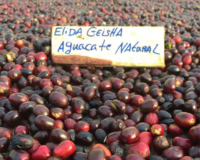 Elida Geisha cherries drying
