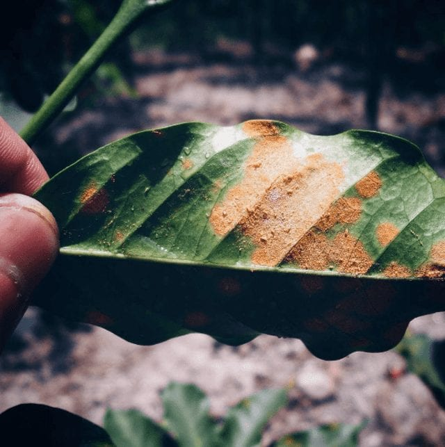 Coffee rust in action