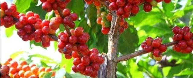 Colombian coffee cherries