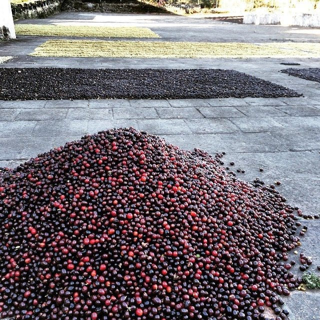 drying coffee cherries