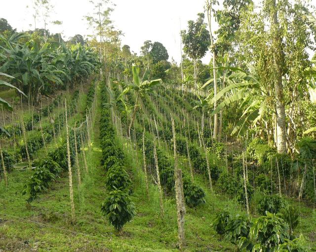 coffee rows
