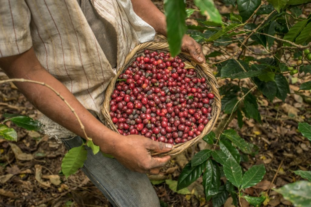 Coffee cherry harvesting
