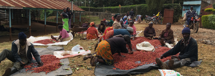 African producres selecting ripe coffee cherries