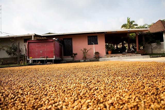 honey processed coffee drying on a patio