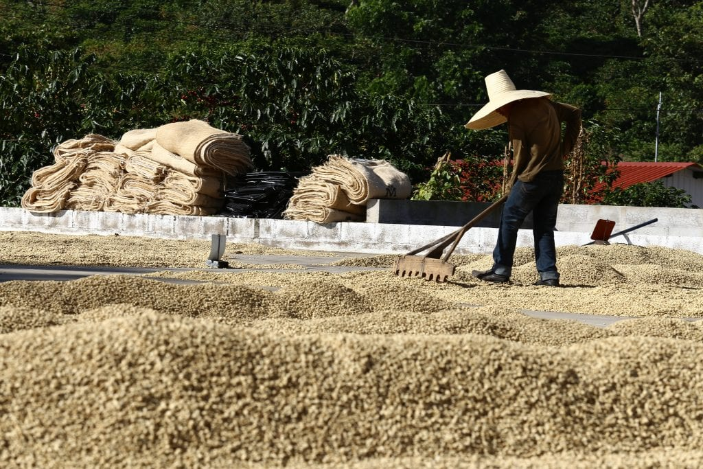Worker rakes drying coffee El Salvador