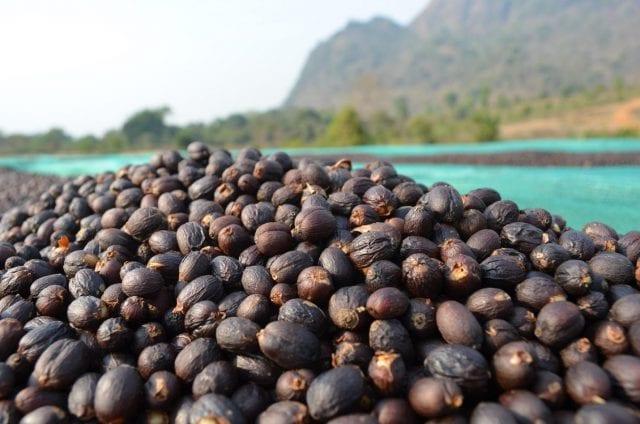 Maynmar specialty coffee