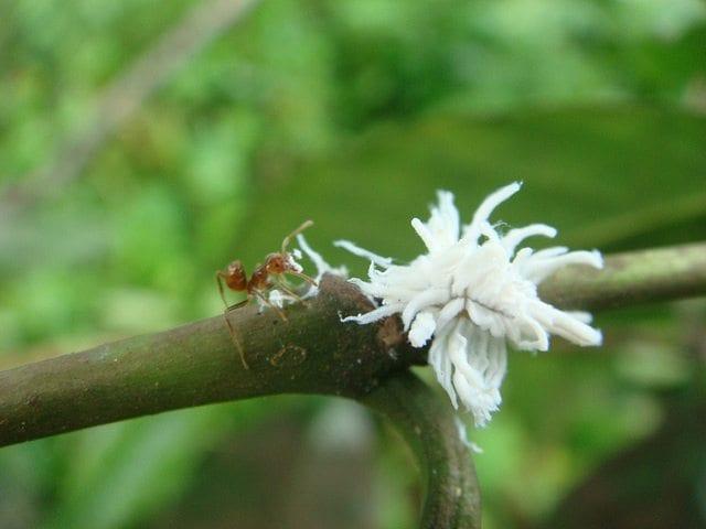 Azteca ant on coffee tree