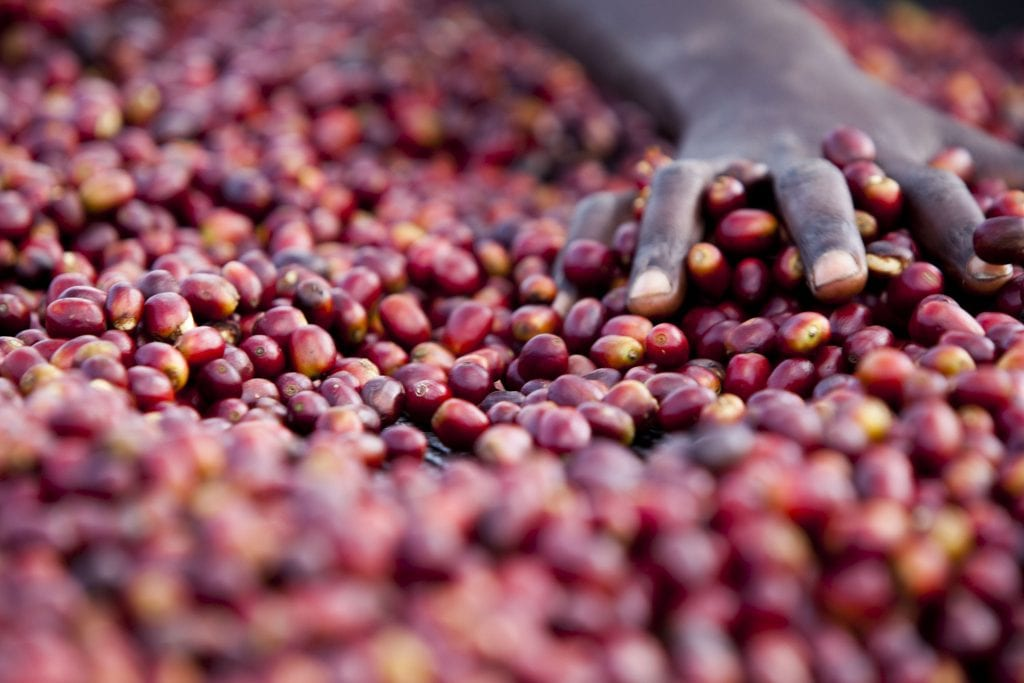 Ethiopian coffee cherries