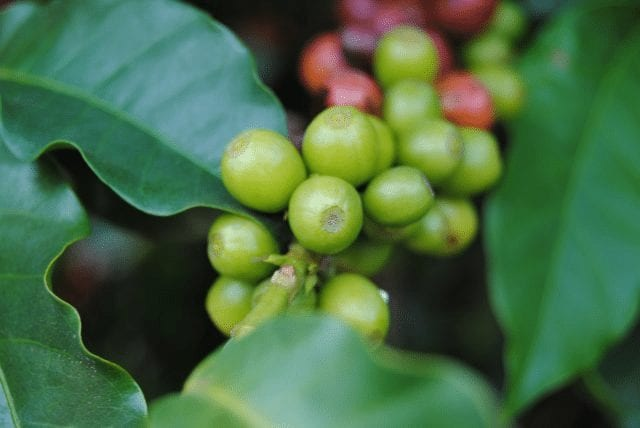 Unripe coffee cherries in a branch