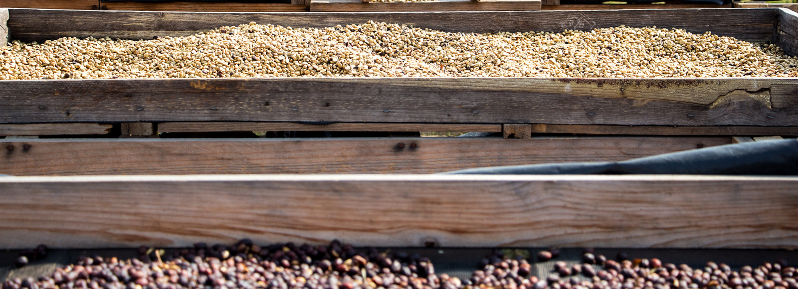 Drying beds with green coffee cherries
