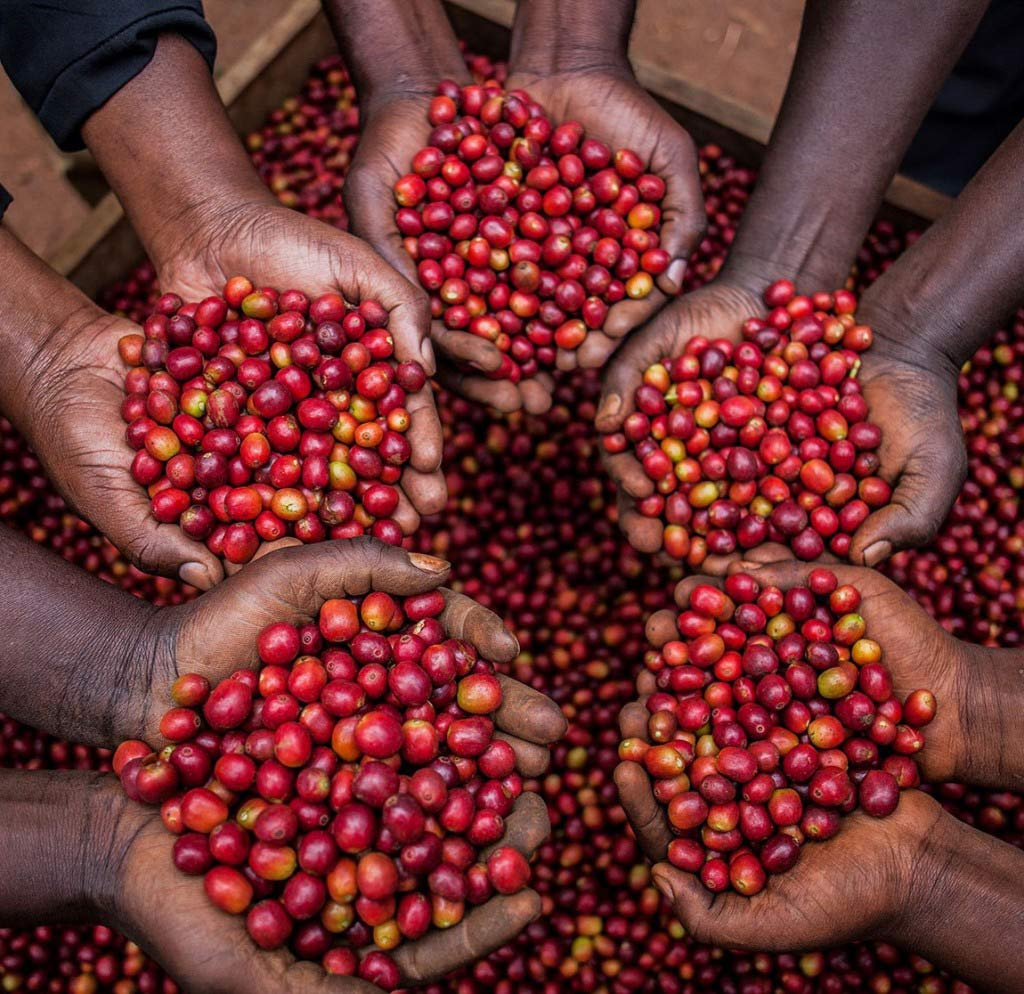 Producers holding a handul of ripe coffee cherries