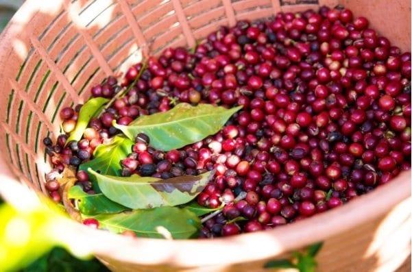 Ripe coffee cherries in a basket