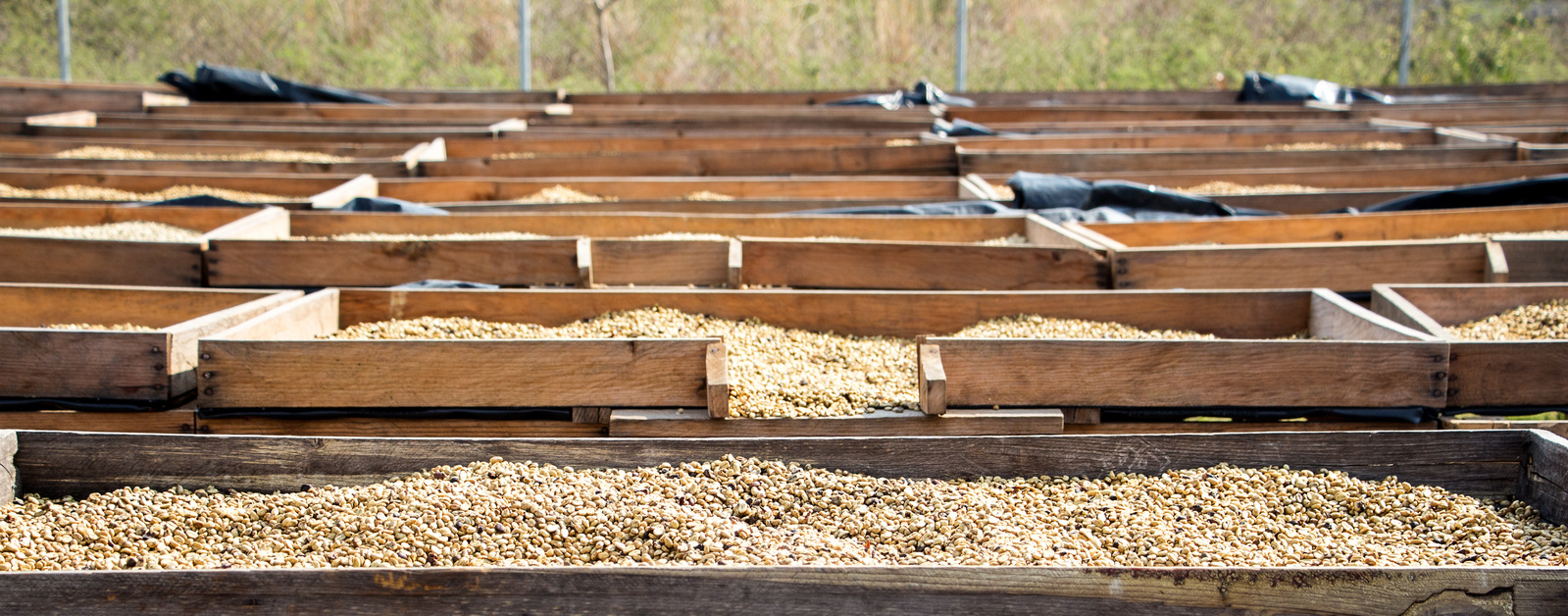 Drying beds with coffee beans