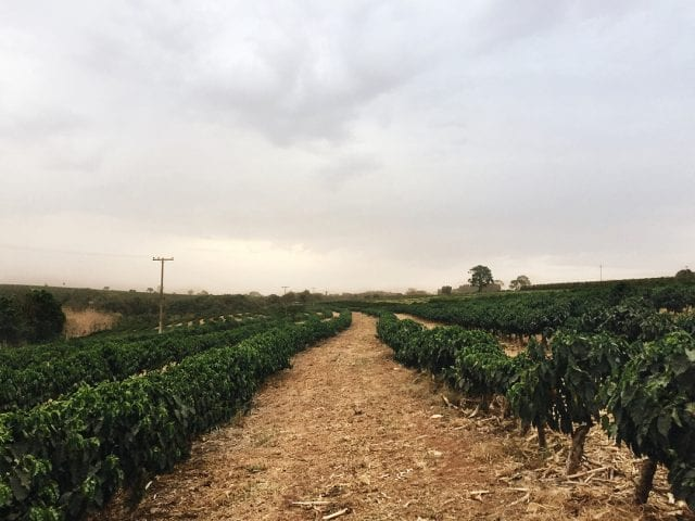 View of a coffee farm