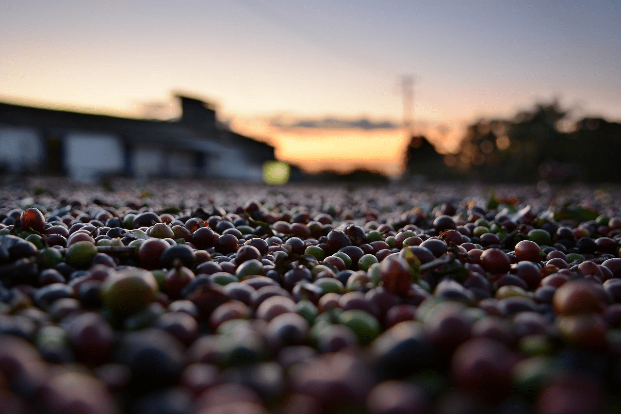 Coffee cherries in the drying bed during the sunset