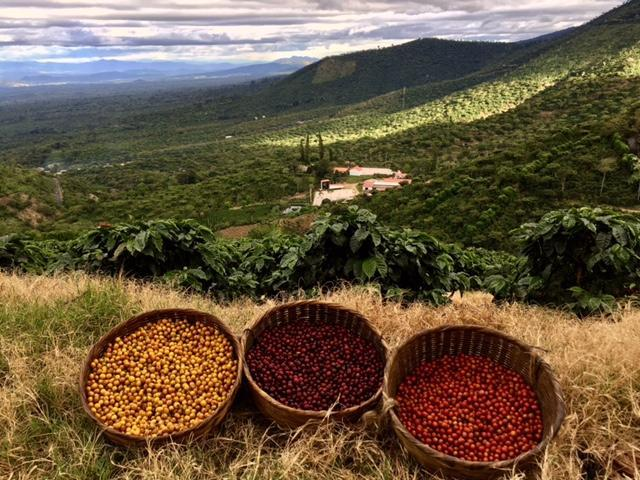 Baskets full with ripe coffe cherries and a view of a coffe crop