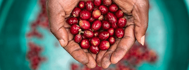 Hand holding ripe coffee cherries