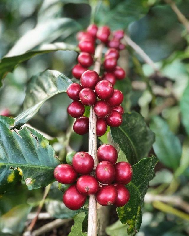 Cerezas de cafe