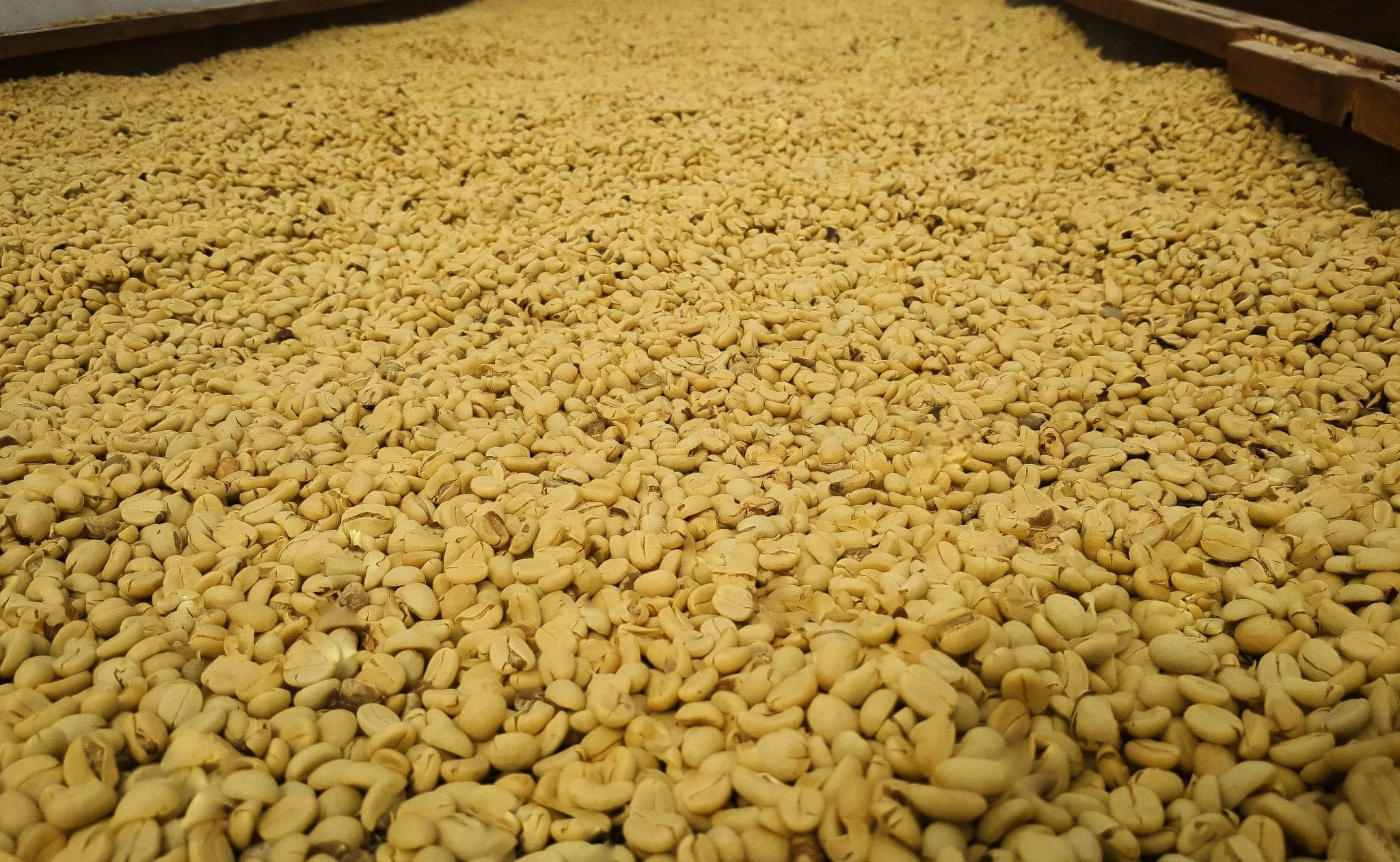 Washed coffee beans drying