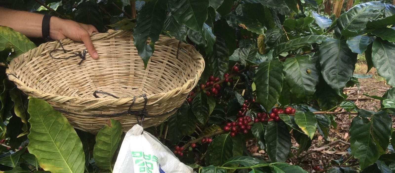 Worker harvetsing a coffee tree