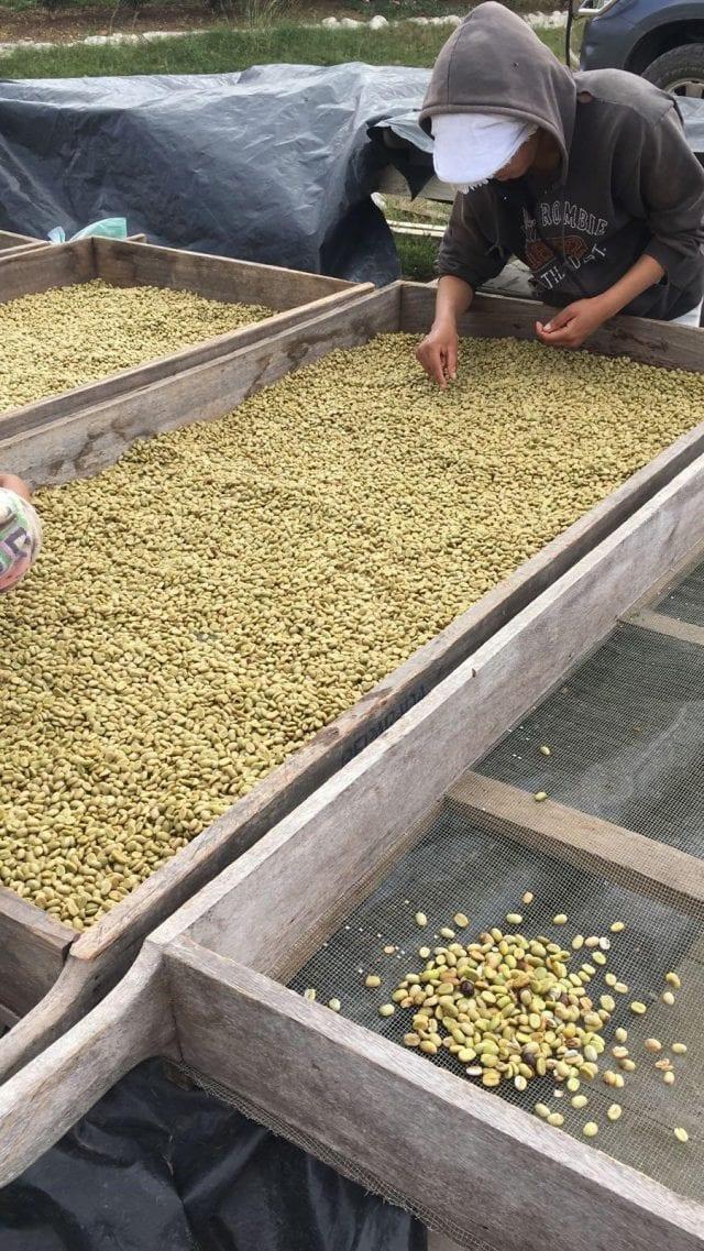 catando o café durante a seca