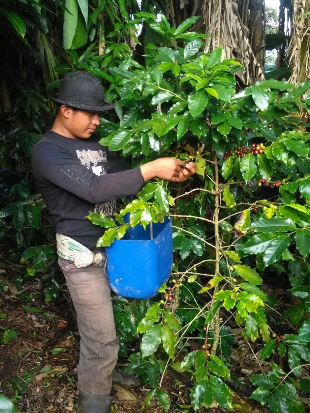 Coffee Picking