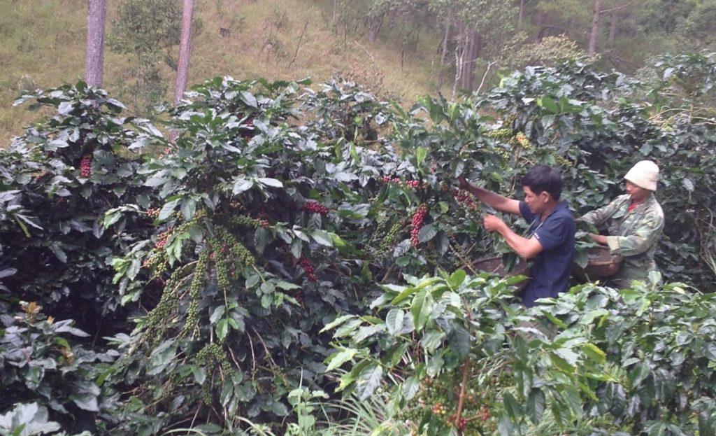 Vietnamese coffee producers picking ripe coffee cherries