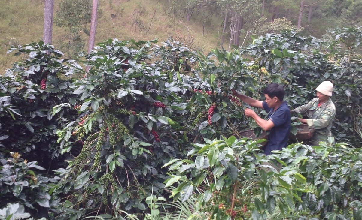 Vietnamese coffee producers picking ripe coffee cherries