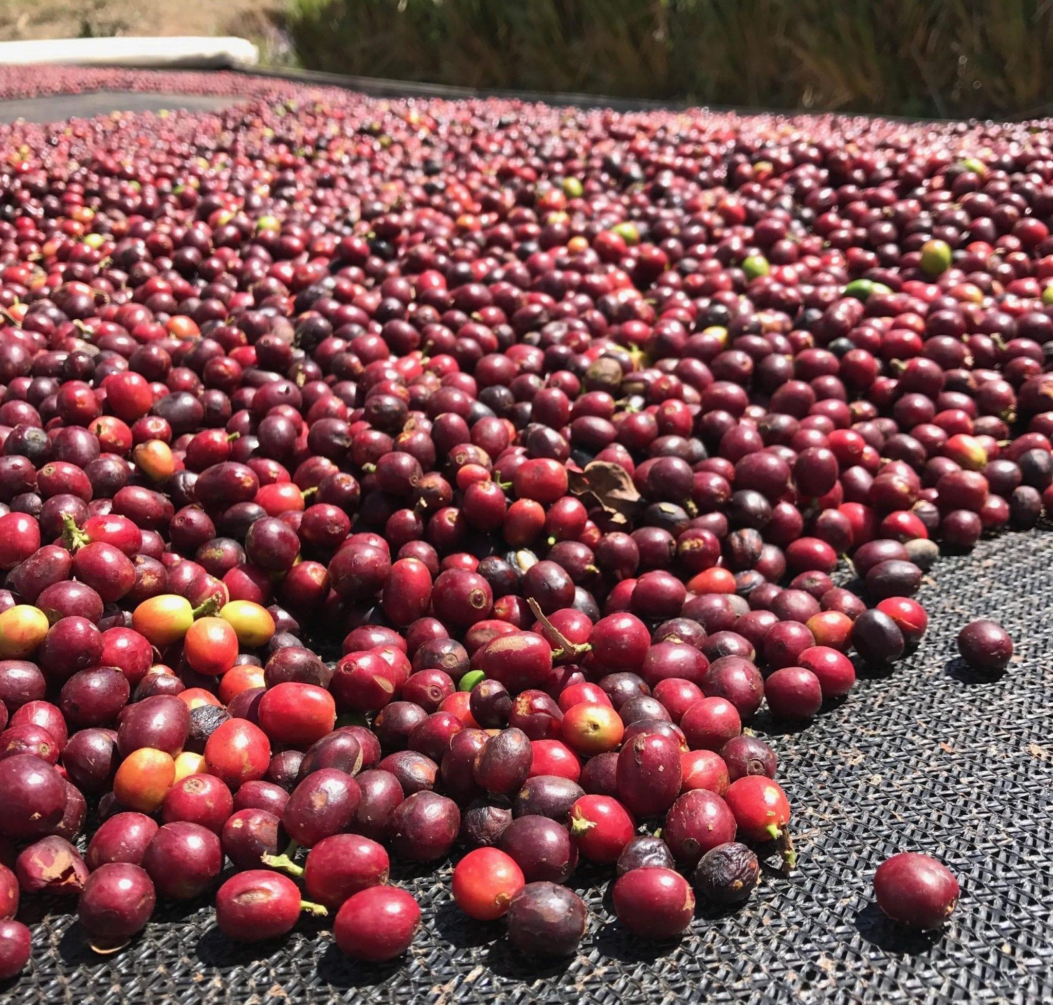 Ripe-red coffee