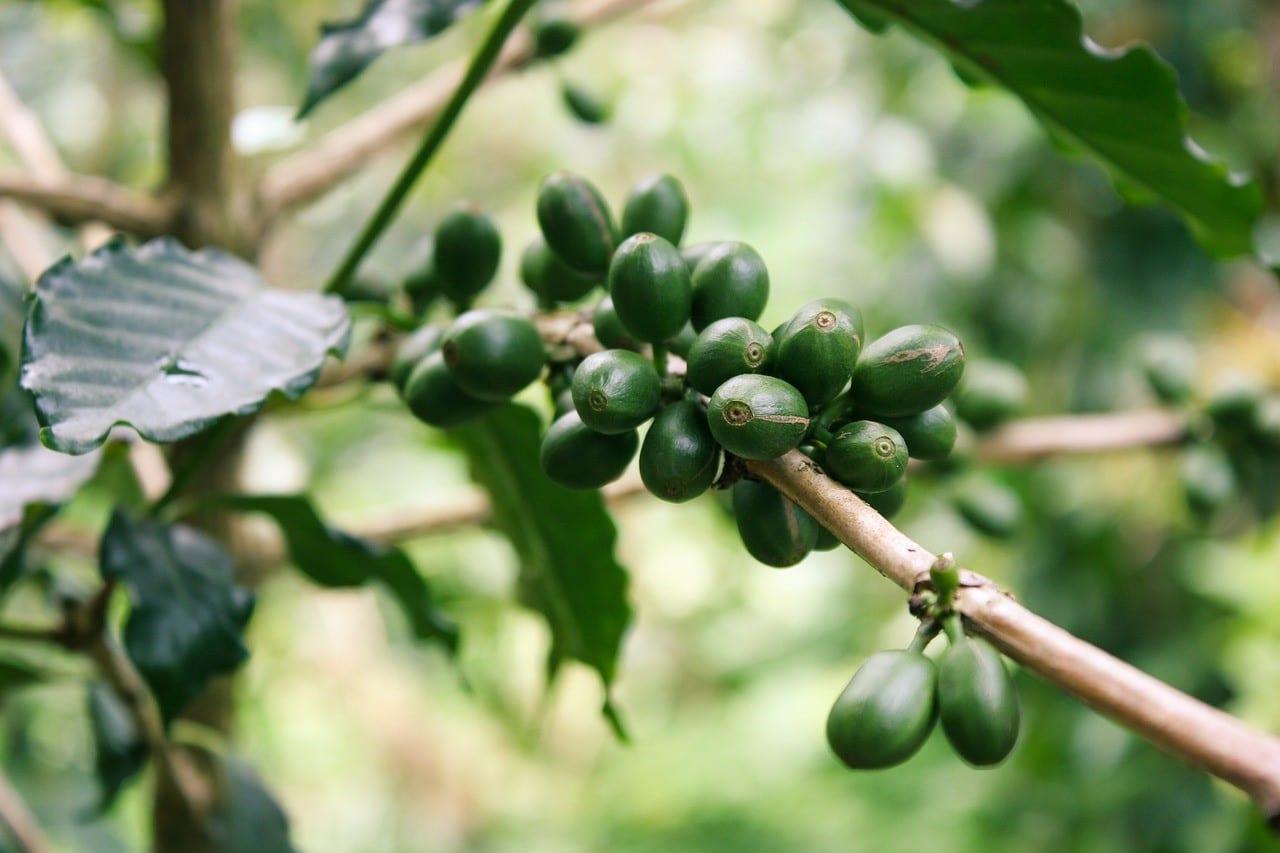 Unripe coffee